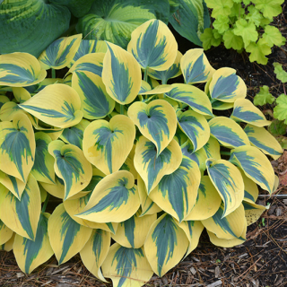 Hosta Autumn Fros