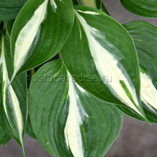 Hosta Broad Street