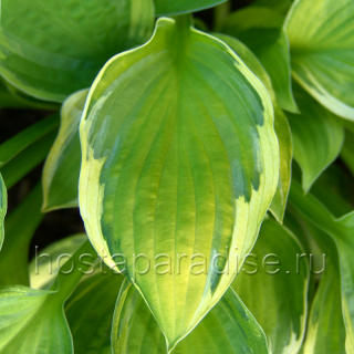 "Hosta  ""Captain's Adventure"" летом"