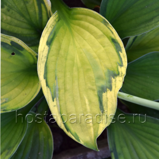 "Hosta  ""Captain's Adventure"" осенью"