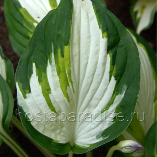 "Hosta  ""Enterprise"""