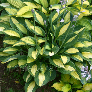 "Hosta ""Gypsy Rose"""