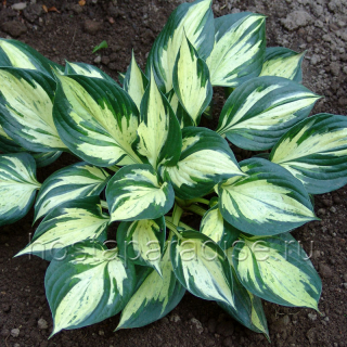 "Hosta ""Pathfinder"""