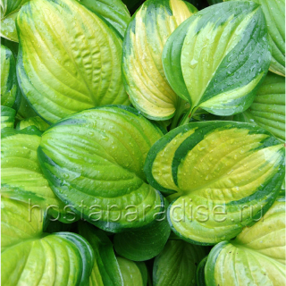 """Hosta """"Stained Glass"""""""