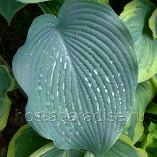 """Hosta ""Blue Angel"""