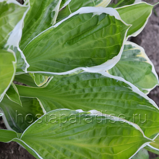 "Hosta  ""Captain's Adventure"" весной"