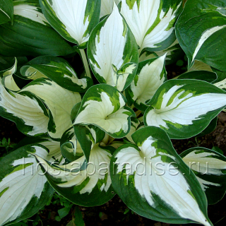 """Hosta """"Fire and Ice"""""""