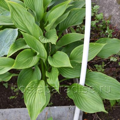 Hosta  Kingsize -молодые растения