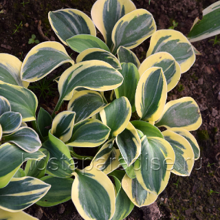 """Hosta """"Mighty Mouse"""""""