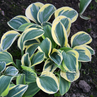 "Hosta ""Mighty Mouse"""