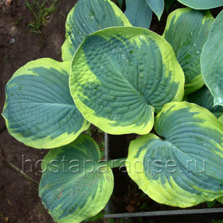 "Hosta ""Olive Bailey Langdon"""