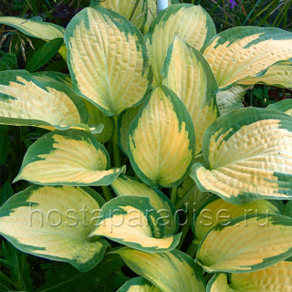 "Hosta  ""Paul's Glory"""