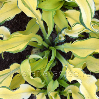 "Hosta ""Ripple Effect"""