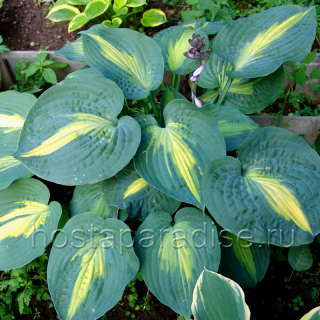 "Hosta ""Saint Paul"""