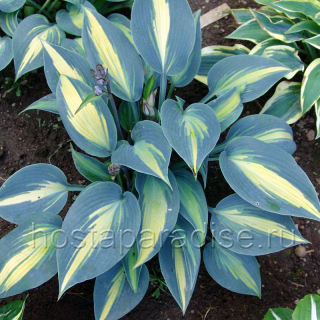 "Hosta ""Timeless Beauty"""